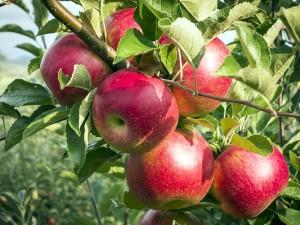 apple-tree-lg